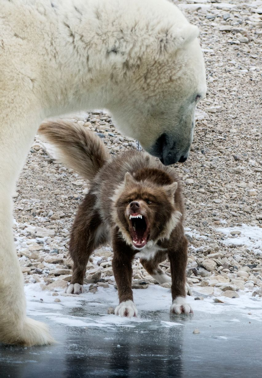 Fearless Guard Dog Went Toe-To-Toe Against A Huge Polar Bear... Guess ...