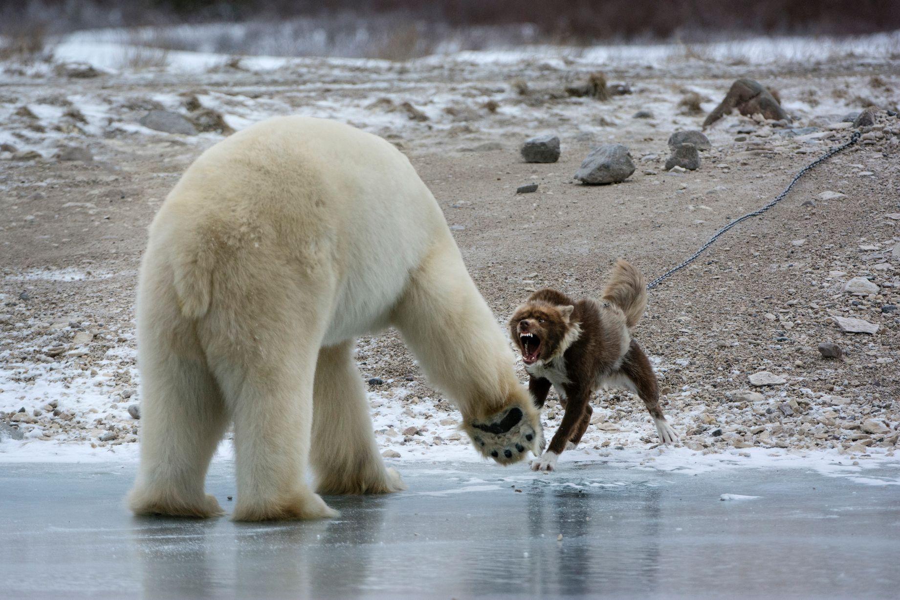 fearless guard dog went toetotoe against a huge polar