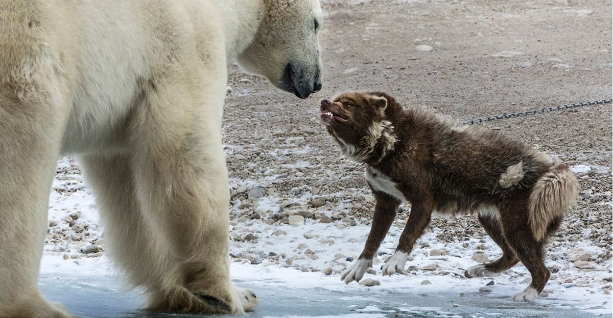 Fearless Guard Dog Went Toe-To-Toe Against A Huge Polar ...
