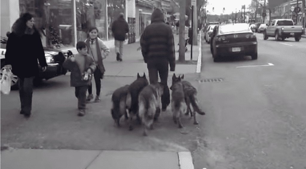 pack of dogs - Copy